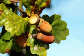 Acorns Growing On Oak Tree