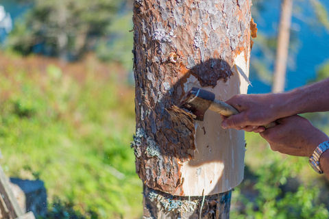 Harvesting For White Inner Bark
